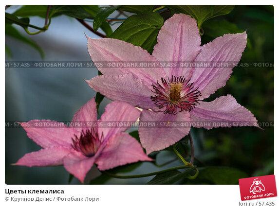 Купить «Цветы клемалиса», фото № 57435, снято 30 мая 2007 г. (c) Крупнов Денис / Фотобанк Лори