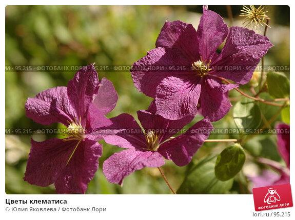 Купить «Цветы клематиса», фото № 95215, снято 24 августа 2006 г. (c) Юлия Яковлева / Фотобанк Лори