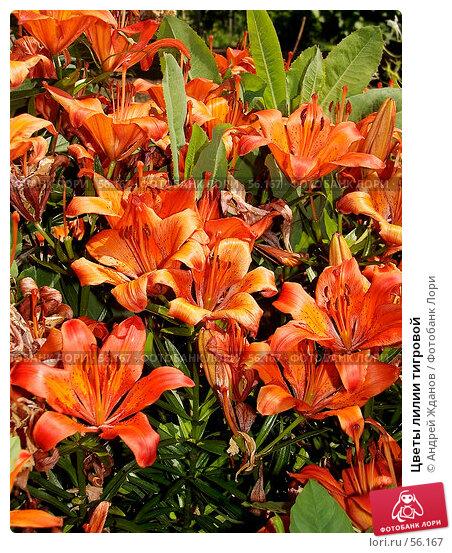 Купить «Цветы лилии тигровой», фото № 56167, снято 23 июня 2007 г. (c) Андрей Жданов / Фотобанк Лори