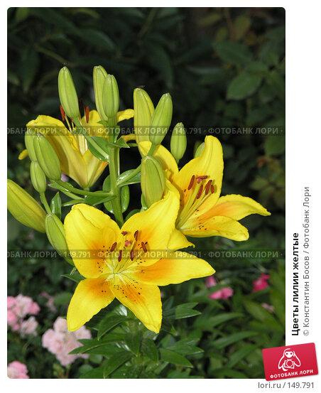 Цветы лилии желтые, фото № 149791, снято 22 июня 2005 г. (c) Константин Босов / Фотобанк Лори
