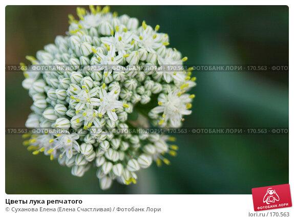 Цветы лука репчатого, фото № 170563, снято 23 июля 2006 г. (c) Суханова Елена (Елена Счастливая) / Фотобанк Лори