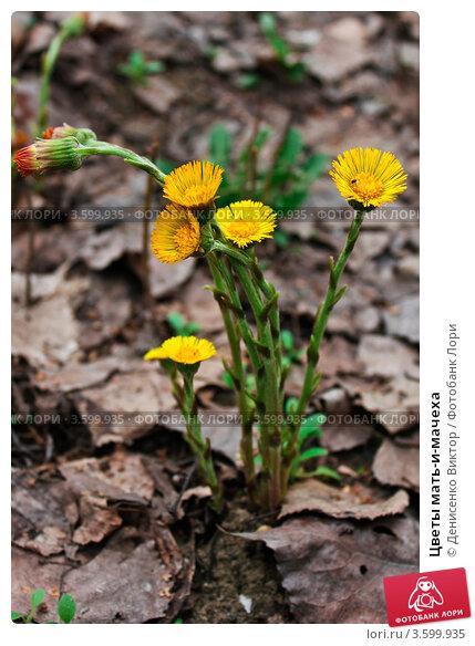 Купить «Цветы мать-и-мачеха», фото № 3599935, снято 2 мая 2011 г. (c) Денисенко Виктор / Фотобанк Лори