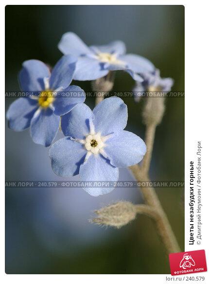 Цветы незабудки горные, эксклюзивное фото № 240579, снято 17 мая 2005 г. (c) Дмитрий Неумоин / Фотобанк Лори