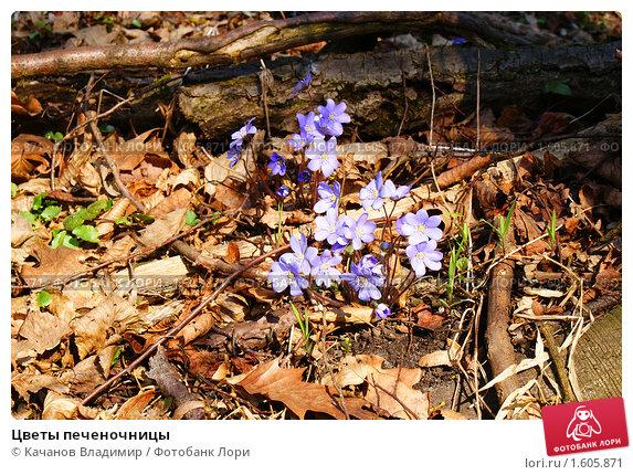 Купить «Цветы печеночницы», фото № 1605871, снято 4 апреля 2010 г. (c) Качанов Владимир / Фотобанк Лори