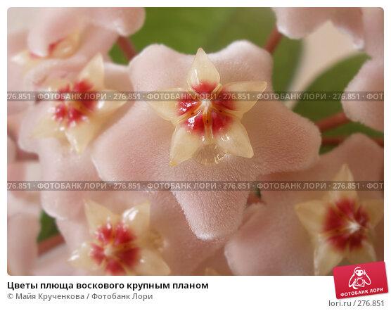Цветы плюща воскового крупным планом, фото № 276851, снято 24 апреля 2007 г. (c) Майя Крученкова / Фотобанк Лори