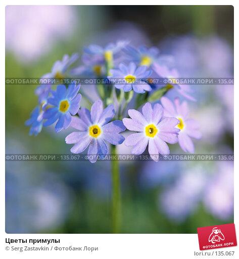 Цветы примулы, фото № 135067, снято 8 июня 2006 г. (c) Serg Zastavkin / Фотобанк Лори