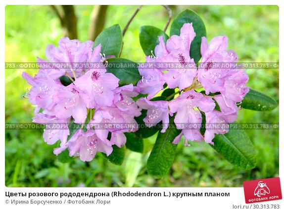 Купить «Цветы розового рододендрона (Rhododendron L.) крупным планом», фото № 30313783, снято 31 мая 2015 г. (c) Ирина Борсученко / Фотобанк Лори