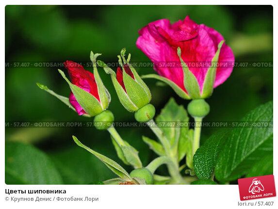 Цветы шиповника, фото № 57407, снято 30 мая 2007 г. (c) Крупнов Денис / Фотобанк Лори