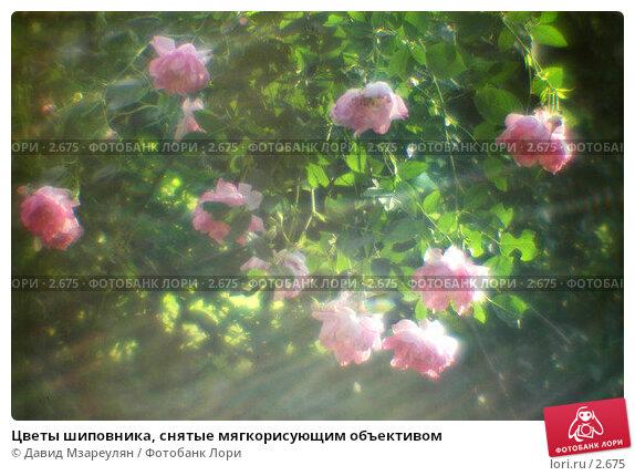 Цветы шиповника, снятые мягкорисующим объективом, фото № 2675, снято 2 июля 2004 г. (c) Давид Мзареулян / Фотобанк Лори