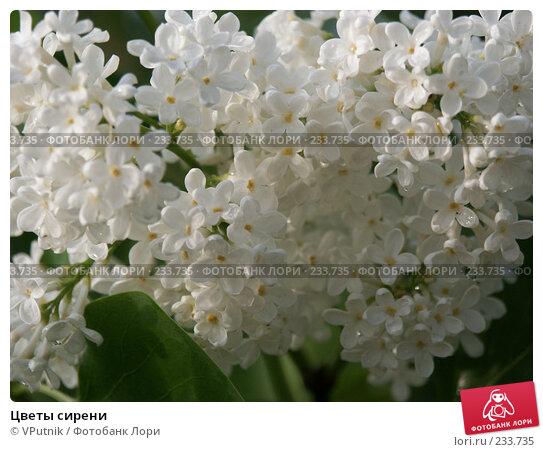 Купить «Цветы сирени», фото № 233735, снято 19 апреля 2018 г. (c) VPutnik / Фотобанк Лори