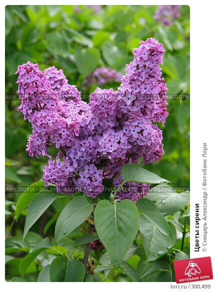 Цветы сирени, фото № 300499, снято 13 мая 2008 г. (c) Сницарь Александр / Фотобанк Лори