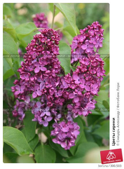Цветы сирени, фото № 300503, снято 13 мая 2008 г. (c) Сницарь Александр / Фотобанк Лори