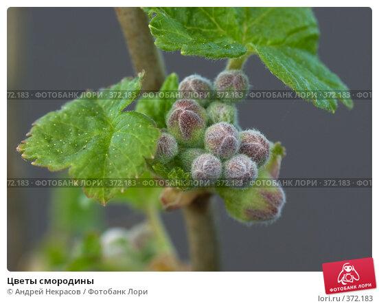 Купить «Цветы смородины», фото № 372183, снято 1 мая 2008 г. (c) Андрей Некрасов / Фотобанк Лори