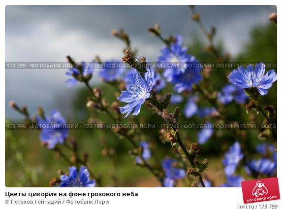 Цветы цикория на фоне грозового неба, фото № 173799, снято 8 июля 2007 г. (c) Петухов Геннадий / Фотобанк Лори