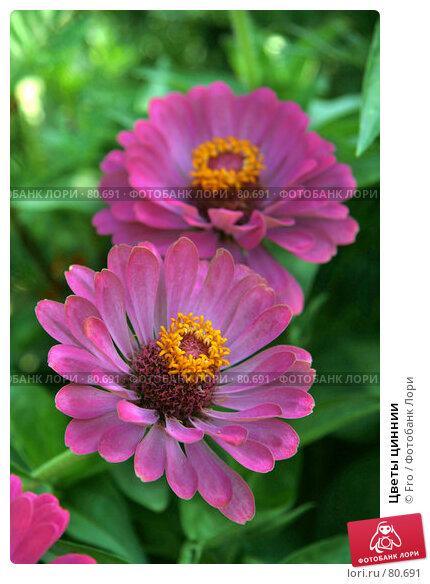 Цветы циннии, фото № 80691, снято 30 августа 2007 г. (c) Fro / Фотобанк Лори