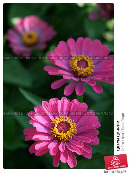 Цветы циннии, фото № 80695, снято 30 августа 2007 г. (c) Fro / Фотобанк Лори