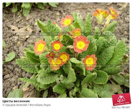 Цветы весенние, фото № 40647, снято 18 апреля 2007 г. (c) Удодов Алексей / Фотобанк Лори