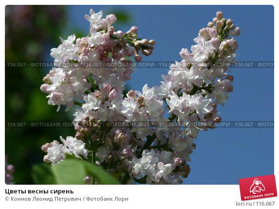 Цветы весны сирень, фото № 116067, снято 21 мая 2007 г. (c) Коннов Леонид Петрович / Фотобанк Лори