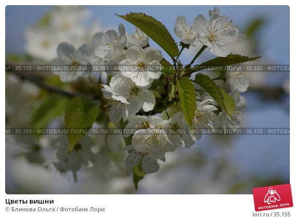 Цветы вишни, фото № 35155, снято 21 апреля 2007 г. (c) Блинова Ольга / Фотобанк Лори