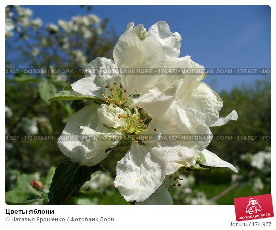 Купить «Цветы яблони», фото № 174927, снято 23 мая 2007 г. (c) Наталья Ярошенко / Фотобанк Лори