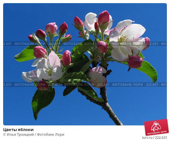 Купить «Цветы яблони», фото № 222631, снято 14 мая 2007 г. (c) Илья Троицкий / Фотобанк Лори