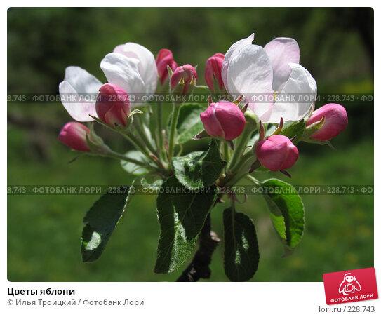 Цветы яблони, фото № 228743, снято 14 мая 2007 г. (c) Илья Троицкий / Фотобанк Лори