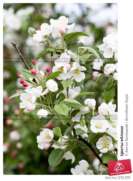 Купить «Цветы яблони», фото № 273375, снято 5 мая 2008 г. (c) Антон Белицкий / Фотобанк Лори