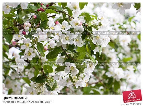 Цветы яблони, фото № 273379, снято 5 мая 2008 г. (c) Антон Белицкий / Фотобанк Лори