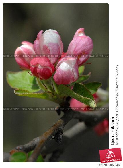 Цветы яблони, фото № 307507, снято 21 апреля 2007 г. (c) Оглоблин Андрей Николаевич / Фотобанк Лори