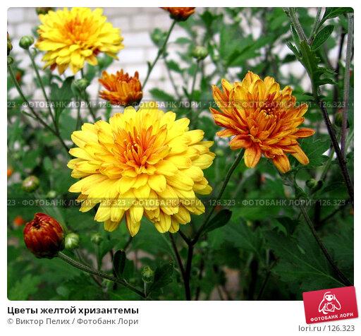 Цветы желтой хризантемы, фото № 126323, снято 20 июля 2006 г. (c) Виктор Пелих / Фотобанк Лори