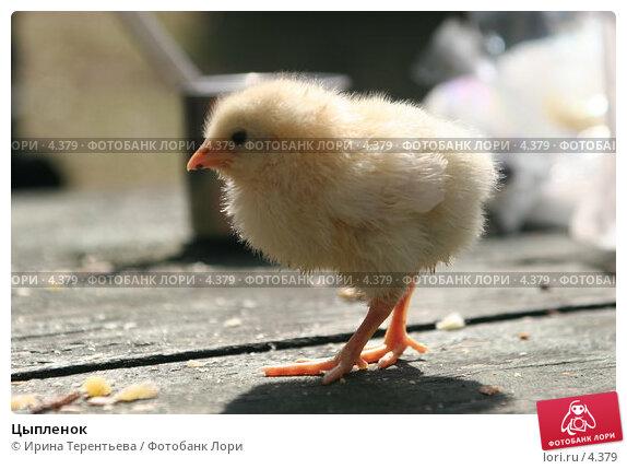 Цыпленок, эксклюзивное фото № 4379, снято 8 мая 2006 г. (c) Ирина Терентьева / Фотобанк Лори