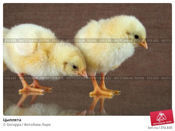 Цыплята, фото № 310835, снято 4 июня 2008 г. (c) Goruppa / Фотобанк Лори