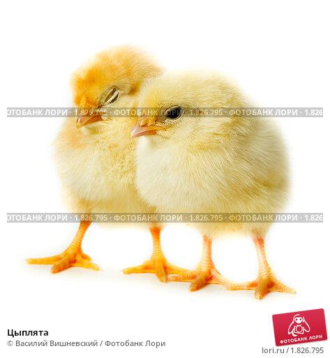 Сонник видеть во сне цыплят