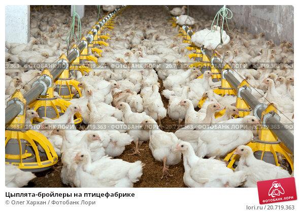 Купить «Цыплята-бройлеры на птицефабрике», фото № 20719363, снято 12 июля 2012 г. (c) Олег Хархан / Фотобанк Лори