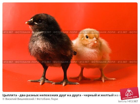 Купить «Цыплята - два разных непохожих друг на друга - черный и желтый на красном», фото № 413987, снято 19 апреля 2007 г. (c) Василий Вишневский / Фотобанк Лори