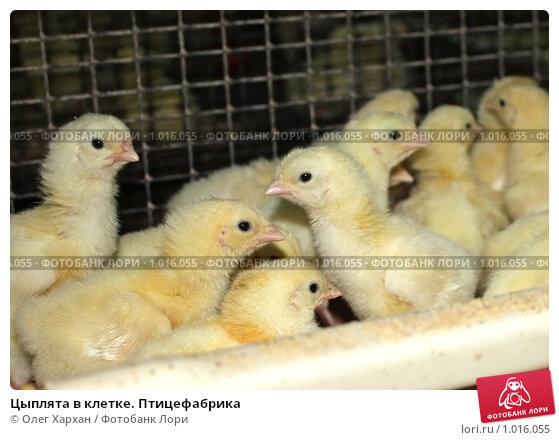 Купить «Цыплята в клетке. Птицефабрика», фото № 1016055, снято 24 июля 2009 г. (c) Олег Хархан / Фотобанк Лори