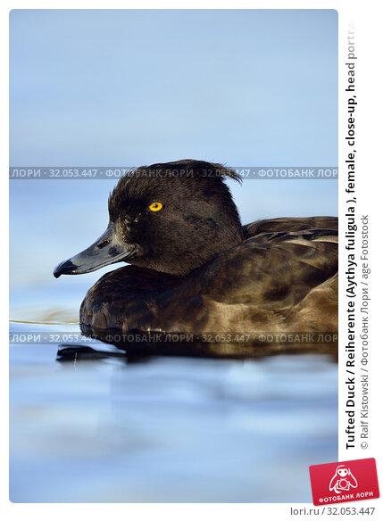 Tufted Duck / Reiherente (Aythya fuligula ), female, close-up, head portrait, wildlife, Germany. Стоковое фото, фотограф Ralf Kistowski / age Fotostock / Фотобанк Лори