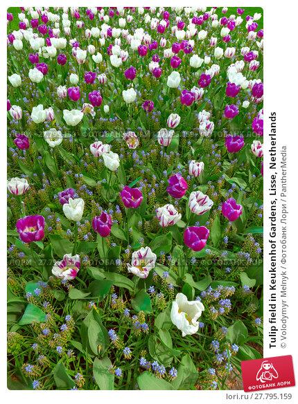 Купить «Tulip field in Keukenhof Gardens, Lisse, Netherlands», фото № 27795159, снято 20 февраля 2018 г. (c) PantherMedia / Фотобанк Лори