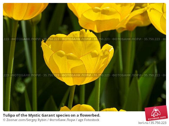 Tulipa of the Mystic Garant species on a flowerbed. Стоковое фото, фотограф Zoonar.com/Sergey Rybin / age Fotostock / Фотобанк Лори