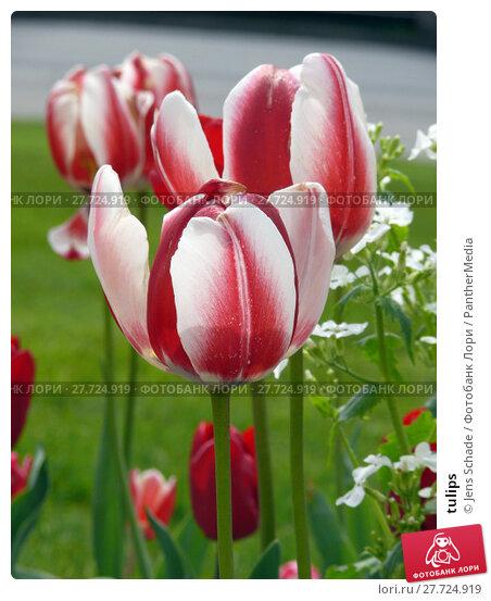Купить «tulips», фото № 27724919, снято 22 апреля 2019 г. (c) PantherMedia / Фотобанк Лори