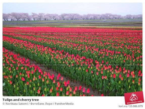 Купить «Tulips and cherry tree», фото № 33086879, снято 26 февраля 2020 г. (c) PantherMedia / Фотобанк Лори