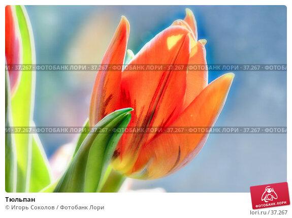 Купить «Тюльпан», фото № 37267, снято 15 декабря 2017 г. (c) Игорь Соколов / Фотобанк Лори