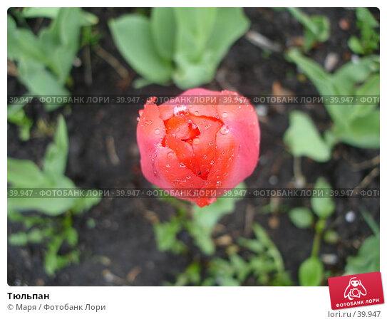 Тюльпан, фото № 39947, снято 5 мая 2007 г. (c) Маря / Фотобанк Лори