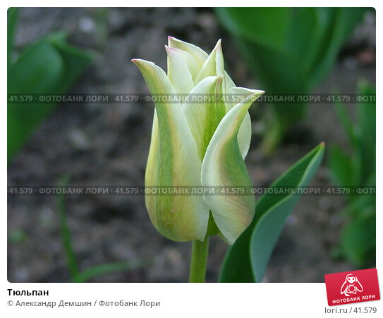 Купить «Тюльпан», фото № 41579, снято 26 июня 2004 г. (c) Александр Демшин / Фотобанк Лори