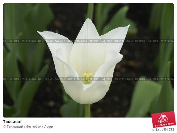 Тюльпан, фото № 54783, снято 17 мая 2007 г. (c) Геннадий / Фотобанк Лори