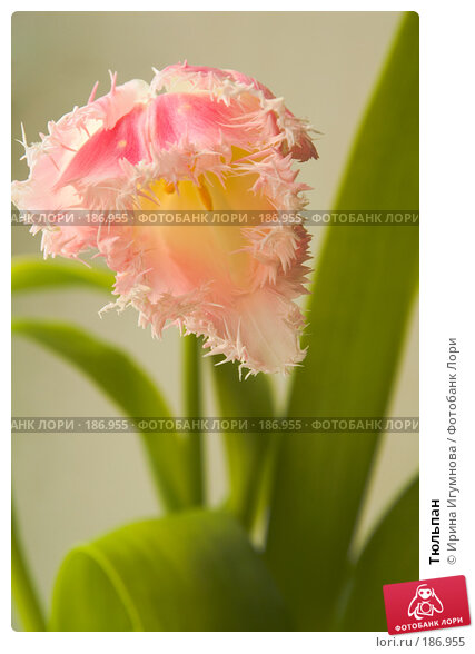 Купить «Тюльпан», фото № 186955, снято 9 апреля 2007 г. (c) Ирина Игумнова / Фотобанк Лори