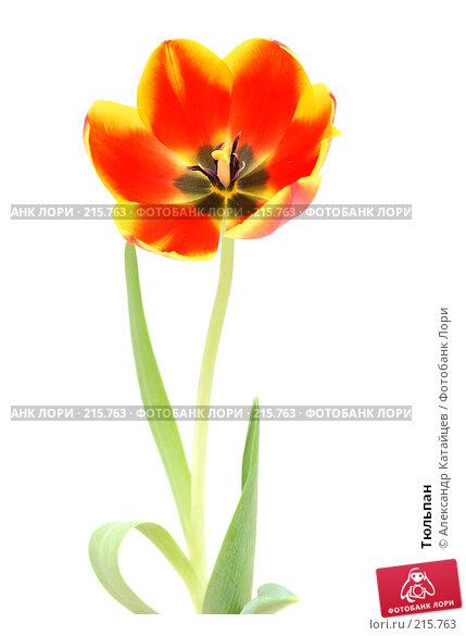 Тюльпан, фото № 215763, снято 1 марта 2008 г. (c) Александр Катайцев / Фотобанк Лори