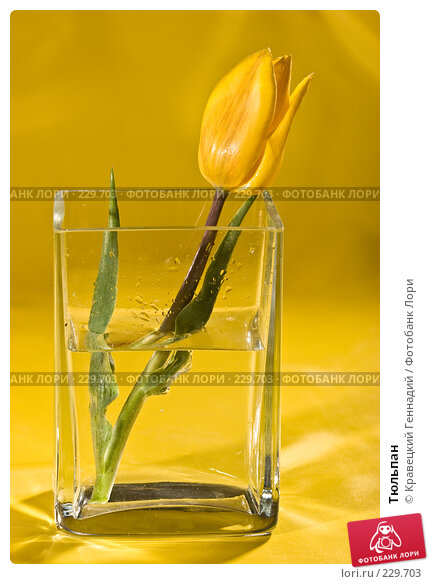 Купить «Тюльпан», фото № 229703, снято 10 мая 2005 г. (c) Кравецкий Геннадий / Фотобанк Лори