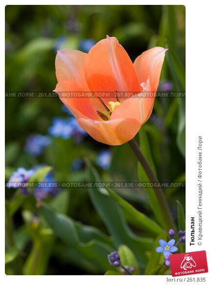 Тюльпан, фото № 261835, снято 29 апреля 2005 г. (c) Кравецкий Геннадий / Фотобанк Лори