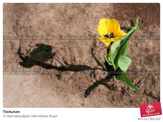 Тюльпан, фото № 263327, снято 26 апреля 2008 г. (c) Светлана Архи / Фотобанк Лори